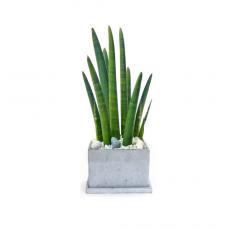 관엽식물-스투키-69